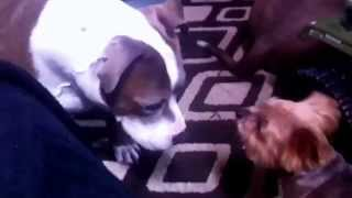 Yorkshire Terrier Attacking Pit Bull And Sneezing.....vicio