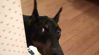 Doberman plays hide and seek :)