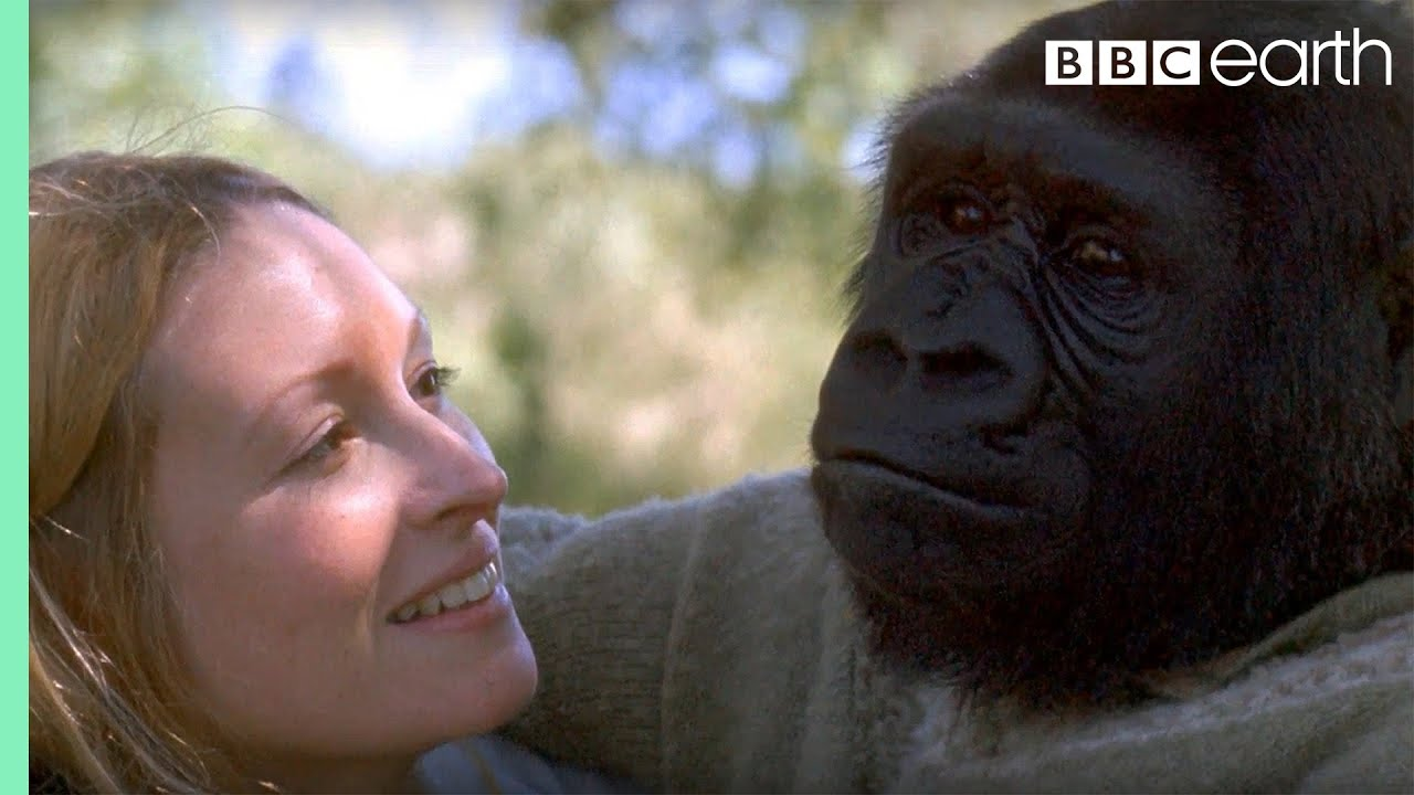 Download Did you know there's a talking gorilla? | #TalkingGorilla | BBC