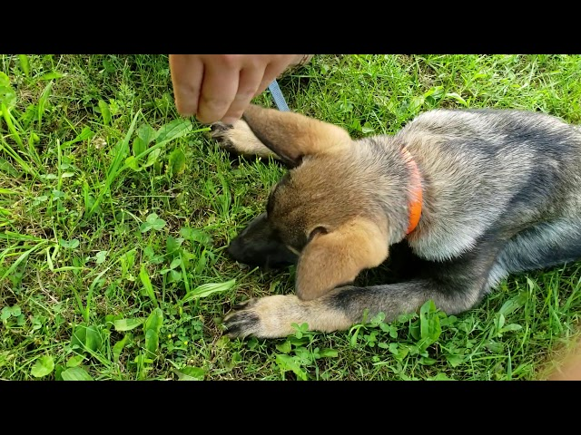 How to train your puppy to track - Part 3