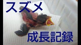 スズメの成長動画  雛~成鳥まで
