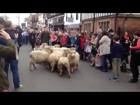 BBC Countryfile's Adam Henson Attempting To Drive Sheep Through Stratford