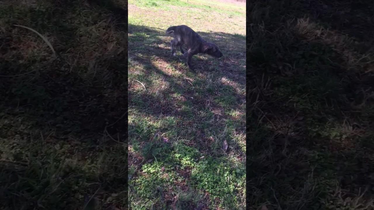 Fiona enjoying a beautiful spring day! - Irish Wolfhound Puppy