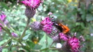 マルハナバチ Bumblebee.