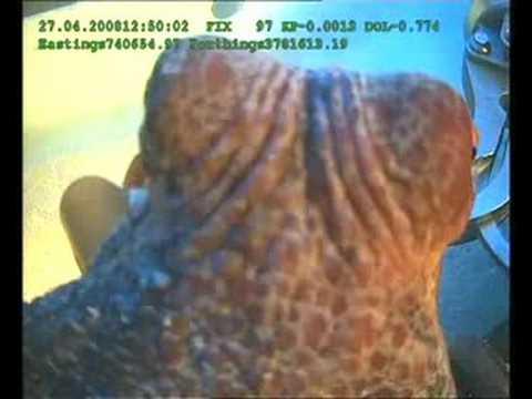 Octopus in Tunisia