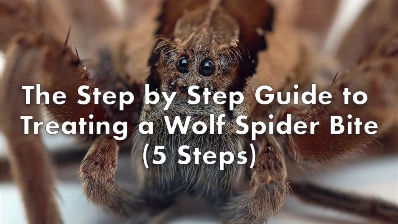 Step by Step Guide to Treating Wolf Spider Bites (5 Steps ...