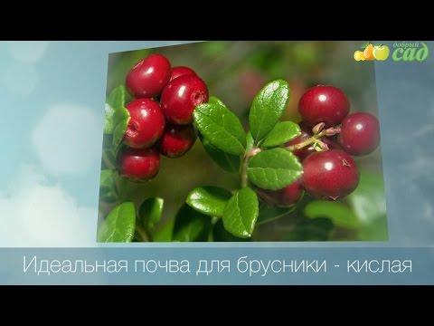 Посадка брусники - как правильно посадить бруснику