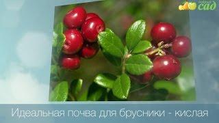 видео Брусника: посадка, выращивание, размножение, полезные свойства