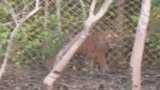 Royal Bengal Tiger Exclusive Video@Sundarbon
