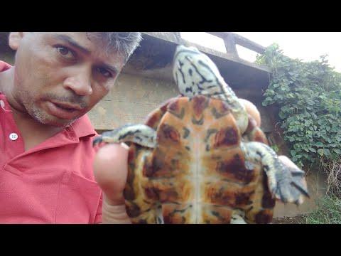 Tartaruga de Rio , ou cágado  muito legal esse bicho ( réptil) ainda filhote grande foi o achado , ,