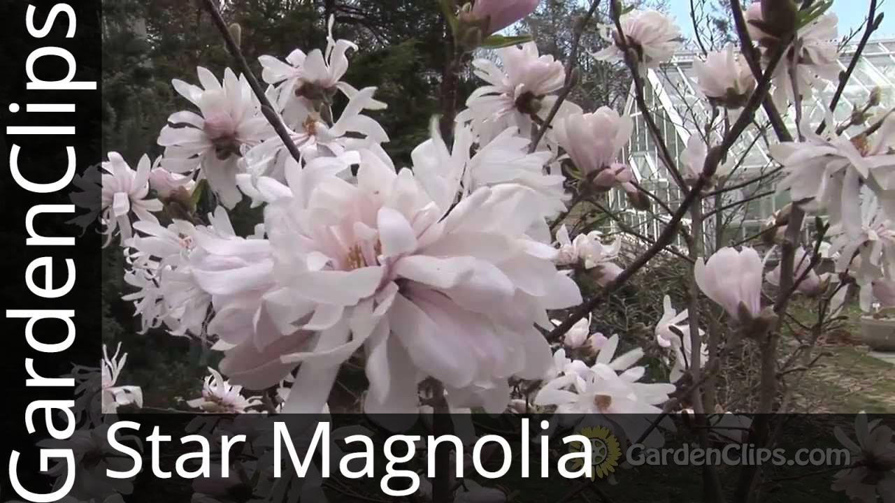 magnolium tree diagram [ 1280 x 720 Pixel ]