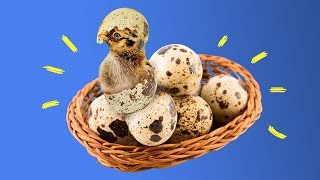 How to hatch an egg at home?