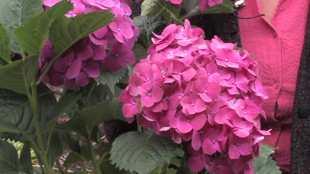Gardening  Caring for Plants   How to Trim Hydrangea   YouTube Gardening  Caring for Plants   How to Trim Hydrangea