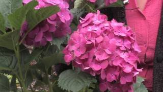 Gardening: Caring for Plants : How to Trim Hydrangea