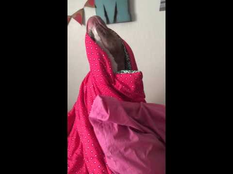 Pitbull Princess doesn't want to get out of bed