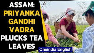 Priyanka Gandhi seen plucking tea leaves in Assam: watch the video| Oneindia News