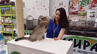 Традиционный сибирский котенок