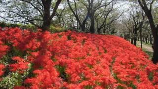 撮影:2011年10月4日 埼玉県幸手市の権現堂堤は、秋になると真っ赤な曼...