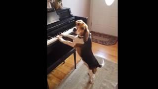 歌も伴奏も自らこなすハイブリッドなビーグル犬.