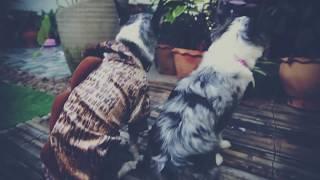 Путешествие с собакой   Живи   Mood Видео(Чихуахуа Софи - собака, которая летала на самолетах, ездила в поездах, на автобусах, машинах, мотоциклах,..., 2015-02-04T03:15:30.000Z)