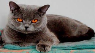 Кошки породы Британская короткошёрстая