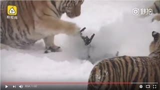 Drone vs tiger