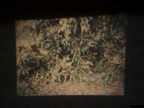 Como cultivar papaya en colombia