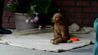 Miniature Goldendoodle Puppies For Sale Stephen Zook