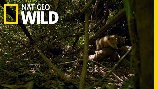 Curious Coatis | Brazil