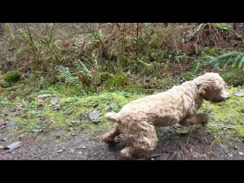 Giant Cockapoo Catching Ball in Slow Motion