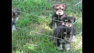 Akc Flashy Chocolate Tan  Miniature Schnauzer Puppies