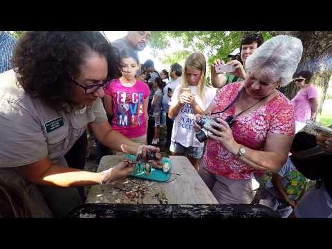 Alligator Hatching 2015 (Brazos Bend SP)