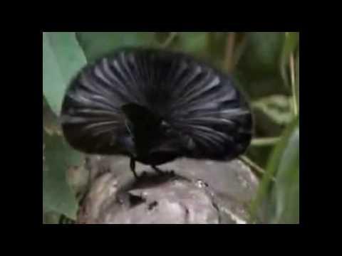 Download Cortejo - Aves del Paraiso.avi