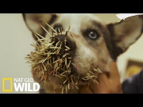 un-chien-attaqué-par-un-porc-épic