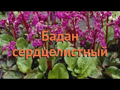 Бадан сердцелистный сердцелистный (serdtselistnyy) �� обзор: как сажать, саженцы бадана сердцелистный