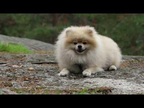 Pomeranian (dog) Dwarf-Spitz
