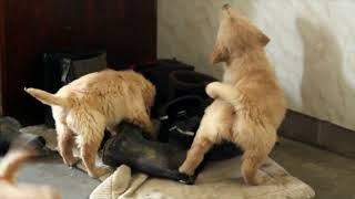 Golden Retriever Puppies For Sale Christ Kauffman