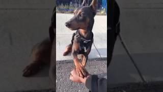 German Pinscher Obedience training