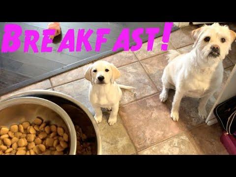 FEEDING MY LAB PUPPY BREAKFAST!