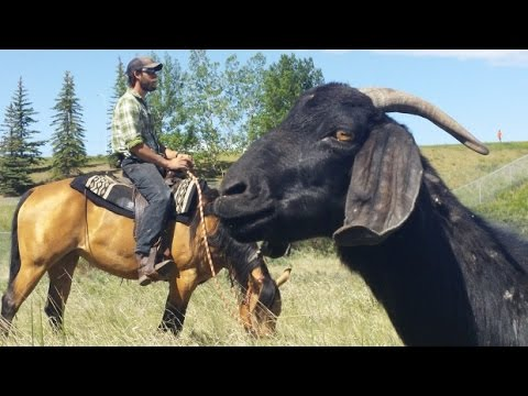 Goat weed patrol comes to Calgary