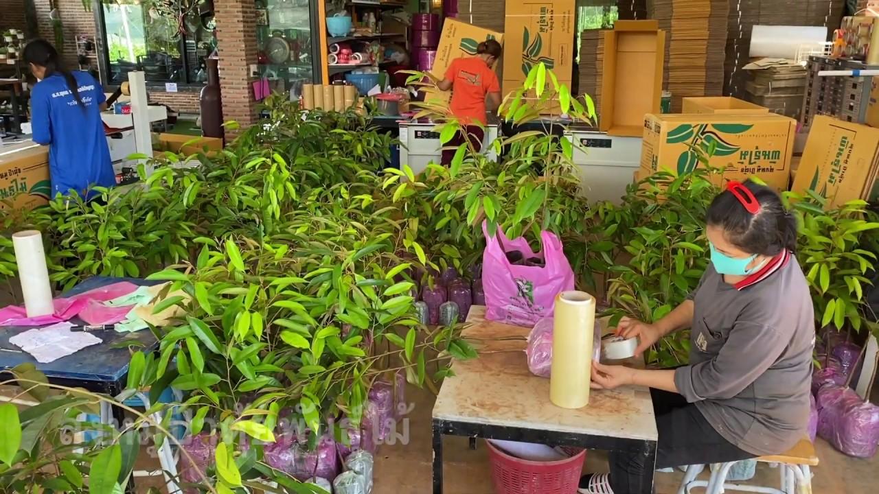ต้นพันธุ์ทุเรียน (รุ่นใส่ลงกล่องส่งถึงหน้าบ้าน) | ลุงหมูป้าตุ้ยพันธุ์ไม้