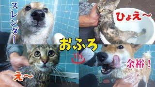 柴犬慣れっこ!初めてのお風呂で子猫は…--- Kitten for the first time shampoo--