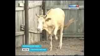Фермеры могут лишиться коров из-за дерматита