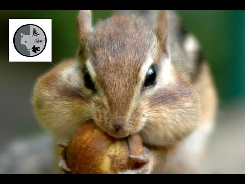 Eastern Chipmunk - Films Nature Web TV
