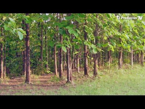 el cultivo de teca en ecuador youtube On madera de teca para baño
