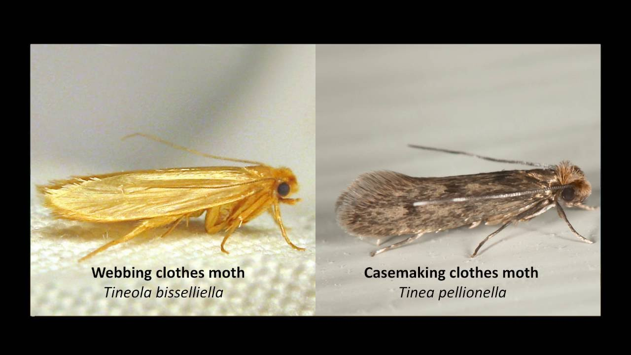 Moth Clothes What Do Do