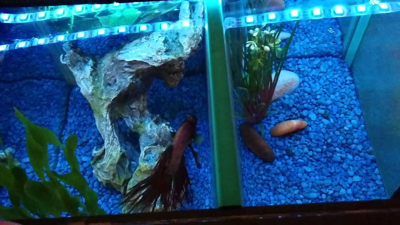 Betta Jumped Out Of Tank Youtube