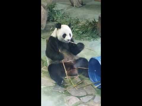 Panda in Taipei Zoo