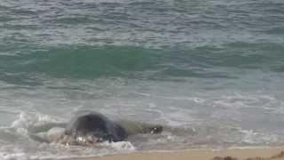 Hawaiian Monk Seal ハワイアンモンクシール