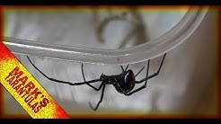 New Addition - Unboxing a Black Widow Spider